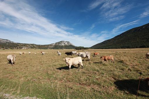 牛「Provence, France」:スマホ壁紙(4)
