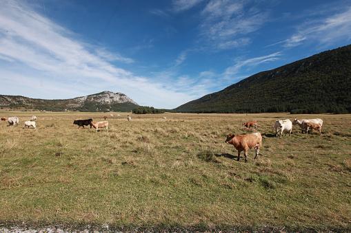 牛「Provence, France」:スマホ壁紙(3)