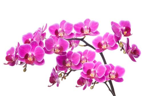 Health Spa「Beautiful luxury orchid on white background」:スマホ壁紙(1)