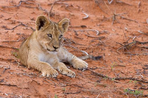 赤ちゃん「Beautiful lion cub on kalahari sand posing - Kgalagadi Transfronteer Park South Africa」:スマホ壁紙(19)
