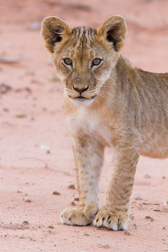 Kitten「Beautiful lion cub on kalahari sand posing - Kgalagadi Transfronteer Park South Africa」:スマホ壁紙(7)