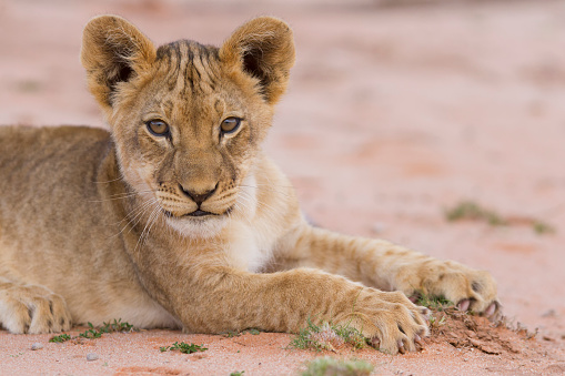 赤ちゃん「Beautiful lion cub on kalahari sand posing - Kgalagadi Transfronteer Park South Africa」:スマホ壁紙(6)