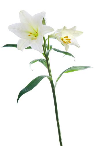 イースター「美しいスイレンの花の背景に白ます。」:スマホ壁紙(4)