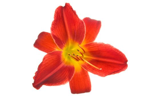 flower「美しいスイレンオンホワイトにしましょう。」:スマホ壁紙(1)