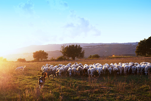 Flock Of Sheep「Beautiful landscape during sunset  with a flock of grazing sheep and three  sheepdogs in the countryside, Calabria,Italy」:スマホ壁紙(2)
