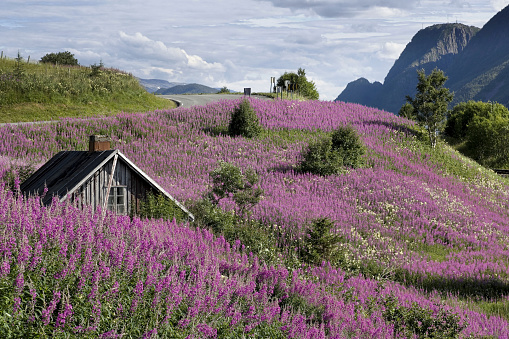 Croft「Beautiful landscape with shed and purple flowers in Norway (XXL)」:スマホ壁紙(11)