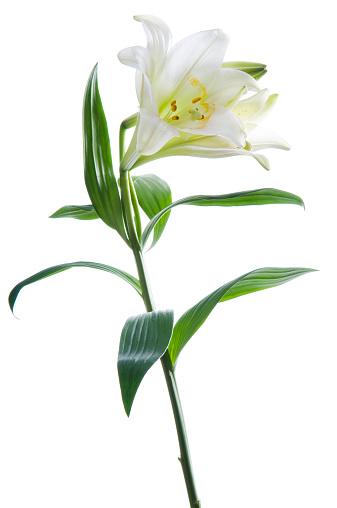 イースター「美しいスイレンの花をホワイトします。」:スマホ壁紙(3)
