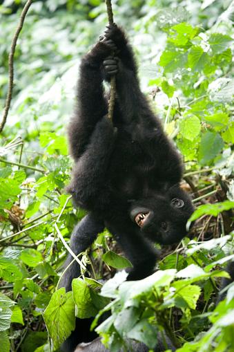 Teenager「A wildlife shot of two infant Eastern Lowland Gorillas (Gorilla beringei graueri) playing in Kahuzi-Biega National Park, Congo」:スマホ壁紙(6)