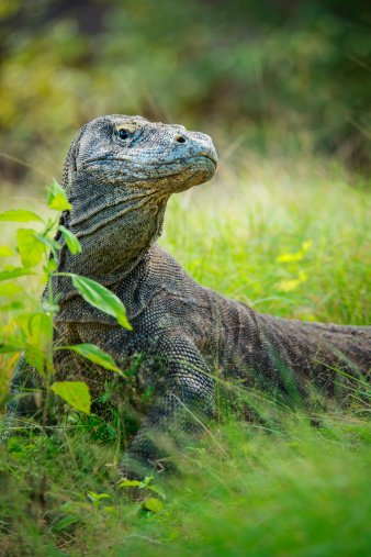 Animals Hunting「Wildlife shot of a Komodo Dragon (Varanus komodoensis)」:スマホ壁紙(19)