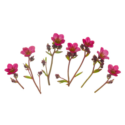Girly「Pink saxifrage flowers in a row on a white square.」:スマホ壁紙(19)