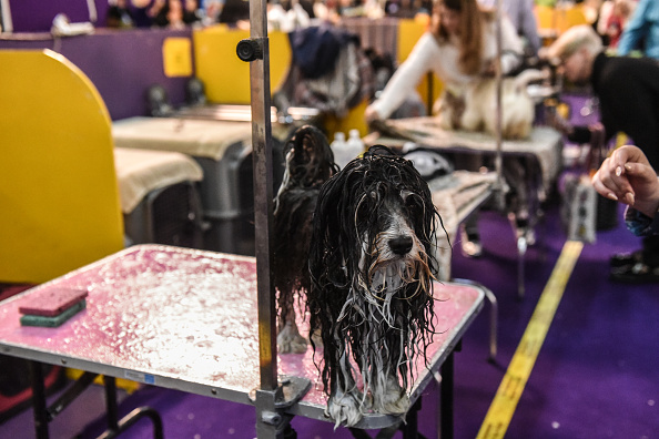 ベストオブ「Westminster Kennel Club Hosts Annual Dog Show In New York」:写真・画像(18)[壁紙.com]
