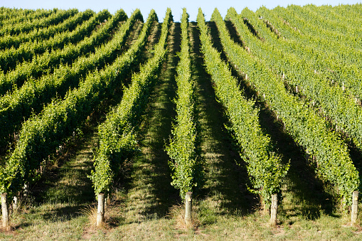 South Australia「Rolling green vineyard in afternoon summer sun」:スマホ壁紙(6)