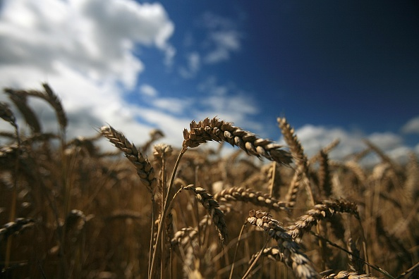 Wheat「Foot And Mouth Presents Wider Threat To British Farmers」:写真・画像(1)[壁紙.com]