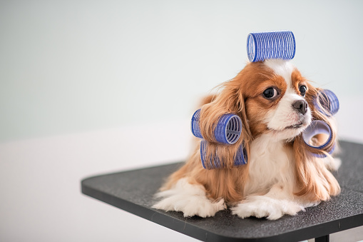 Pets「Cavalier King Charles Spaniel dog grooming session」:スマホ壁紙(11)