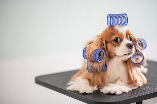Pets「Cavalier King Charles Spaniel dog grooming session」:スマホ壁紙(14)