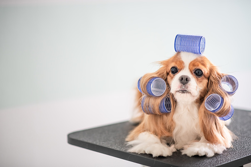 Pets「Cavalier King Charles Spaniel dog grooming session」:スマホ壁紙(6)
