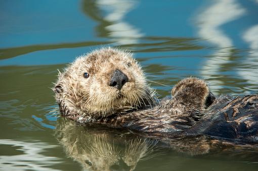 Endangered Species「Wild Sea Otter Resting in Calm Ocean Water」:スマホ壁紙(13)