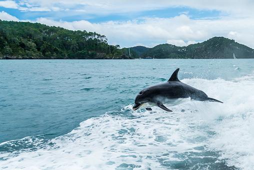イルカ「Dolphin jumping out of the ocean in the wake of a boat, Bay of Islands, North Island, New Zealand」:スマホ壁紙(8)