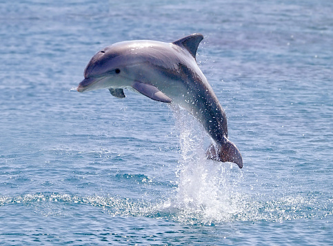 Dolphin「dolphin jump out of the water in sea」:スマホ壁紙(8)