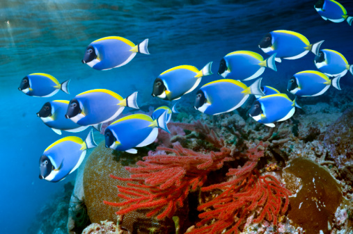 Soft Coral「Powder-blue surgeonfish」:スマホ壁紙(14)