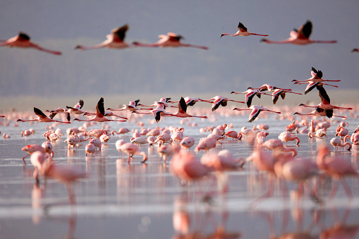 Kenya「Flamingoes on Lake Nakuru」:スマホ壁紙(19)
