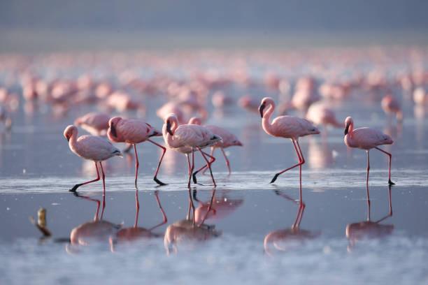 Flamingoes on Lake Nakuru:スマホ壁紙(壁紙.com)