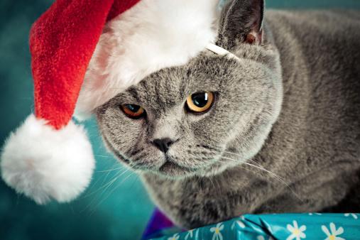 ショートヘア種の猫「クリスマスの猫」:スマホ壁紙(10)