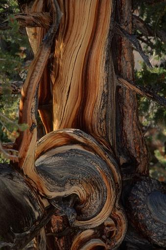 Inyo National Forest「Ancient knarled Bristolcone Pine.」:スマホ壁紙(6)