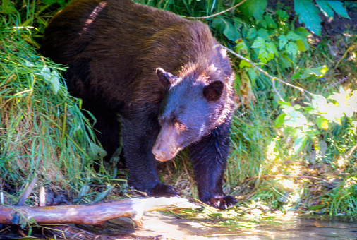 Salmon River  Alaska「Wild Brown Phase Black Bear looking for fish on the shore of the Salmon River, Near the village of Hyder - Alaska, not far from Canadian Border」:スマホ壁紙(7)