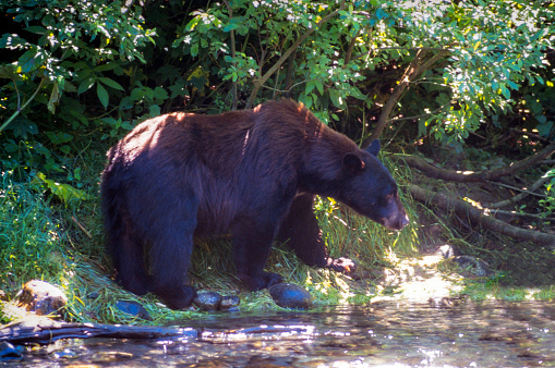 Salmon River  Alaska「Wild Brown Phase Black Bear looking for fish in the Salmon River, Near the village of Hyder - Alaska, not far from Canadian Border」:スマホ壁紙(9)