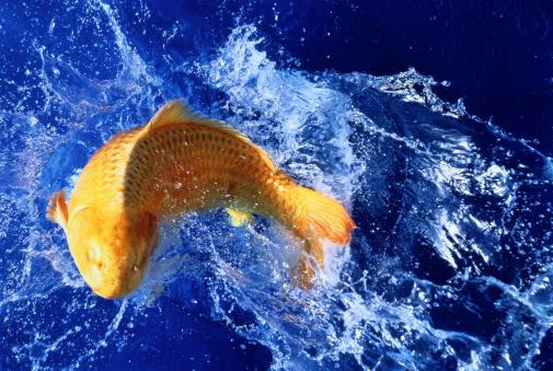 Carp「Carp splashing water, blue background」:スマホ壁紙(10)