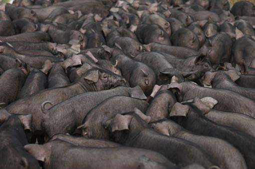 Pigpen「Pigs in a barn」:スマホ壁紙(18)
