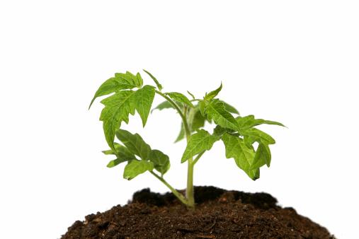 Planting「Tomato sprout」:スマホ壁紙(11)