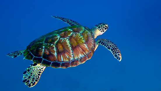 Green Turtle「A Black Sea Turtle off the coast of Fiji.」:スマホ壁紙(0)