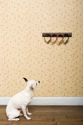Choosing「Chihuahua looking at collars」:スマホ壁紙(4)