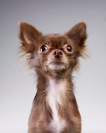 Pride「Chihuahua looking up」:スマホ壁紙(9)