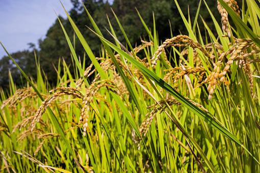 Japan「Side of terraced rice field」:スマホ壁紙(6)