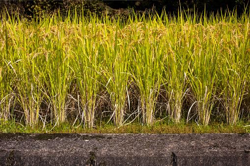 Japan「Side of terraced rice field」:スマホ壁紙(2)