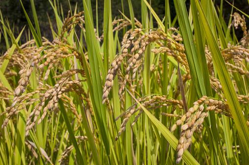 Japan「Side of terraced rice field」:スマホ壁紙(1)
