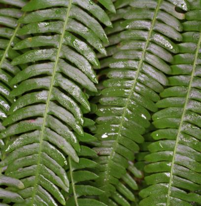 Frond「Wet fern leaves, close-up」:スマホ壁紙(10)