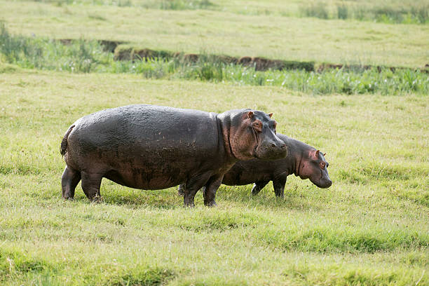 Female and young Hippopotamos (Hippopotamus amphibius) standing in short grass, Ngorongoro Crater:スマホ壁紙(壁紙.com)