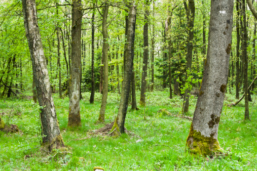Ardennes Forest「Thick trees in Ardennes Forest, France」:スマホ壁紙(9)