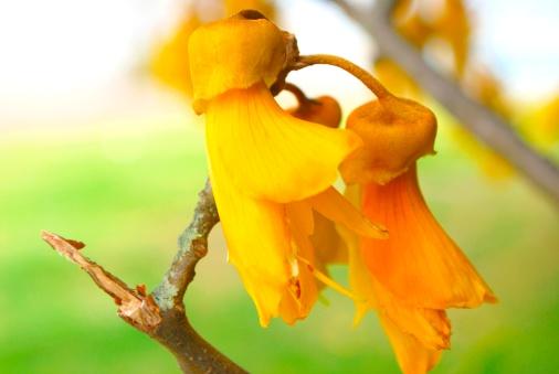 New Zealand Culture「Kowhai Bloom, Spring」:スマホ壁紙(19)