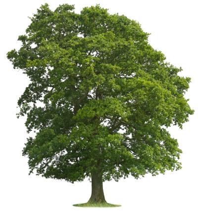 Oak Tree「Isolated Oak Tree」:スマホ壁紙(14)