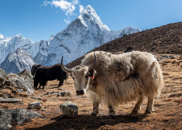 Nepal, Himalaya, Khumbu, Everest region, Kongma La, Yaks and Ama Dablam:スマホ壁紙(壁紙.com)