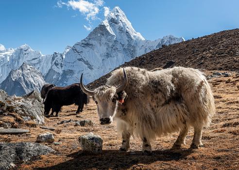 Ama Dablam「Nepal, Himalaya, Khumbu, Everest region, Kongma La, Yaks and Ama Dablam」:スマホ壁紙(9)