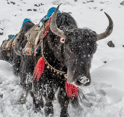 Khumbu「Nepal, Himalaya, Khumbu, Dughla, yaks in snowfall」:スマホ壁紙(13)