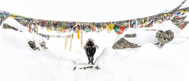 Nepal, Himalaya, Solo Khumbu, Ama Dablam, yak on trail in snow:スマホ壁紙(壁紙.com)