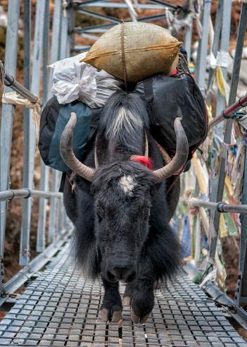 Pack Animal「Nepal, Himalaya, yak transporting baggage on bridge」:スマホ壁紙(1)