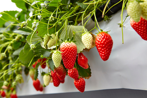 Greenhouse「Strawberry picking」:スマホ壁紙(8)